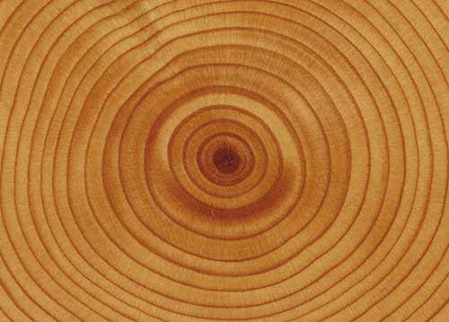 Photograph of tree rings